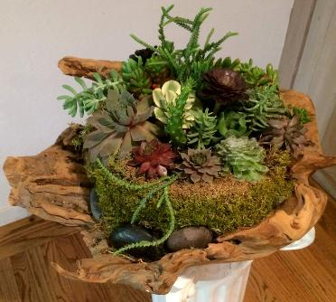 Succulents arranged in natural driftwood